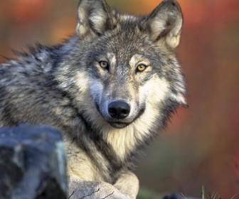interpretacja snu Brązowy wilk