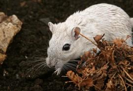 sennik Atak myszy