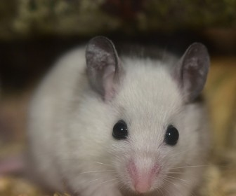 sennik Biała mysz