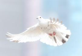 znaczenie snu Sen o gołębiu