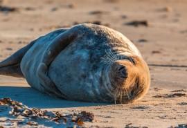 znaczenie snu Sen o foce