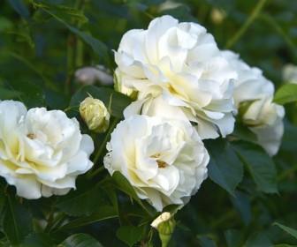 znaczenie snu Sen o białych różach
