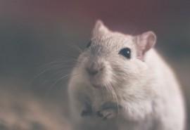 sennik Martwy szczur