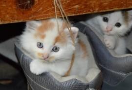 sennik Miauczący kot