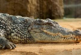 znaczenie snu Sen o krokodylu