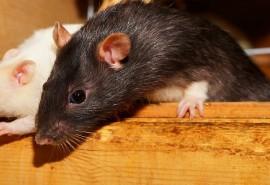 znaczenie snu Sen o szczurach w mieszkaniu