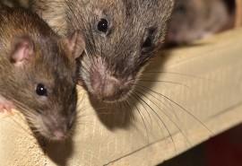 znaczenie snu Sen o stadzie szczurów