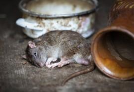 znaczenie snu Sen o martwym szczurze