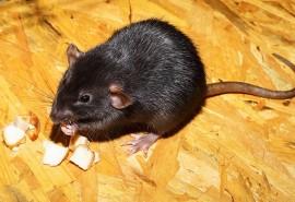 znaczenie snu Sen o gryzącym szczurze