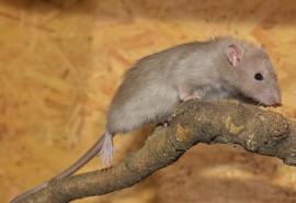 sennik Szczurzy ogon