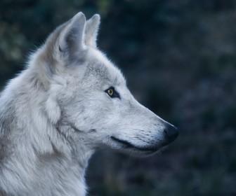 znaczenie snu Sen o wilku
