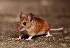 znaczenie snu Sen o ataku myszy